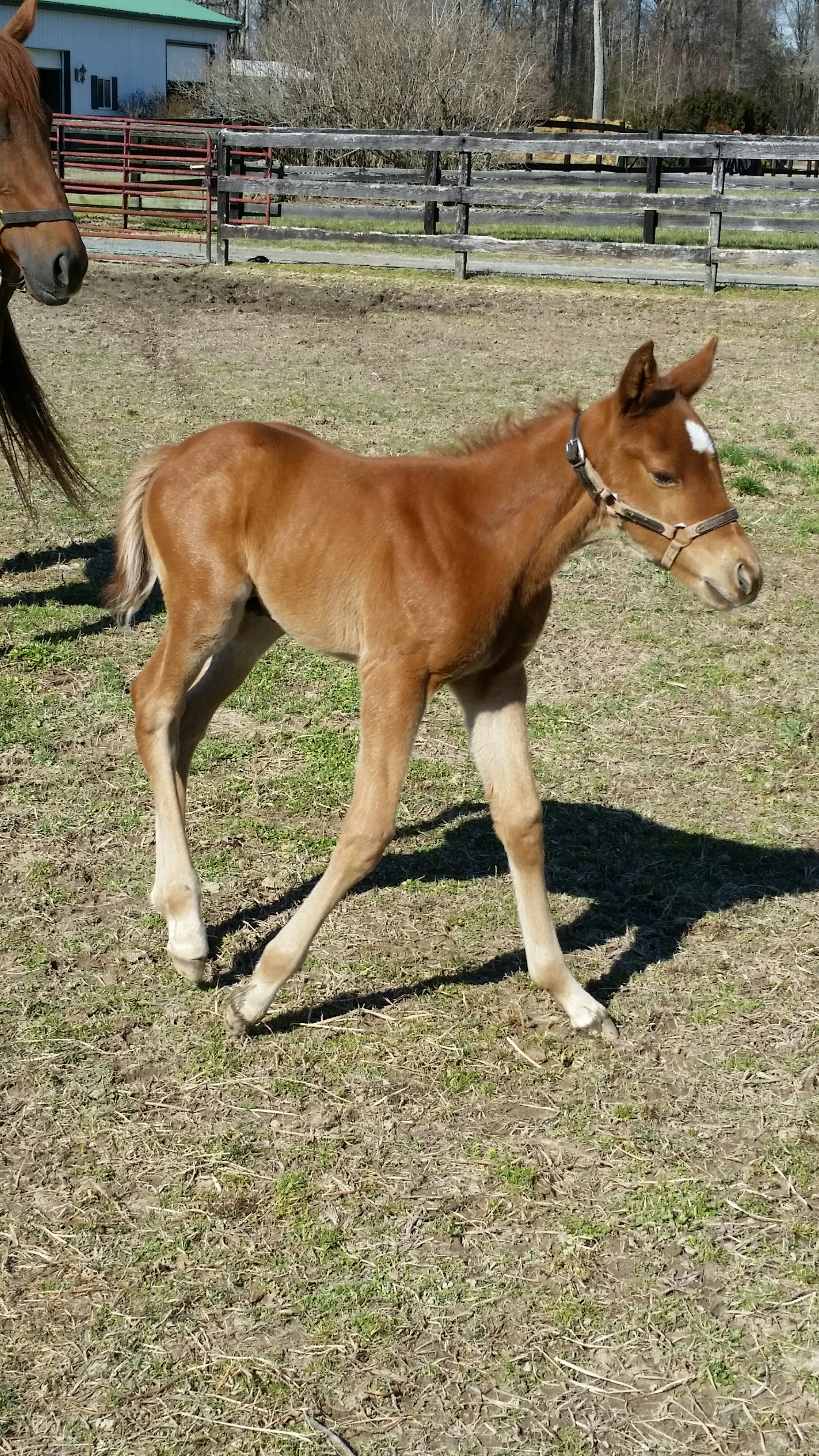 foaling report To anyone in the horse world, spring means foaling season the uc davis veterinary medical teaching hospital can be of assistance throughout the entire process.